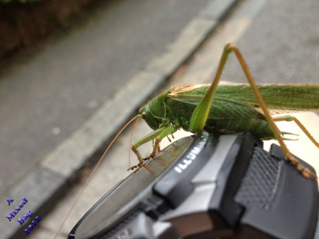 Grasshopper on a wrist watch